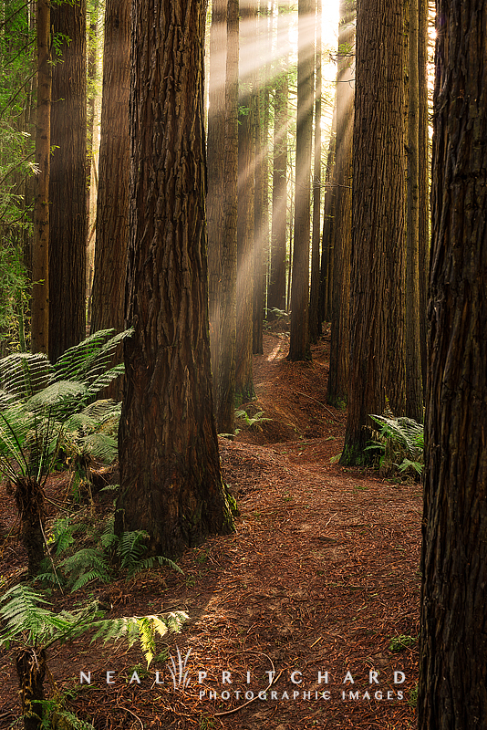 Landscaping With Redwood Trees : Landscape photographic prints giant california redwoods sequoia